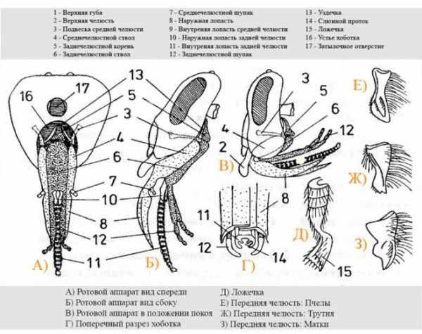 ротовой аппарат пчелы