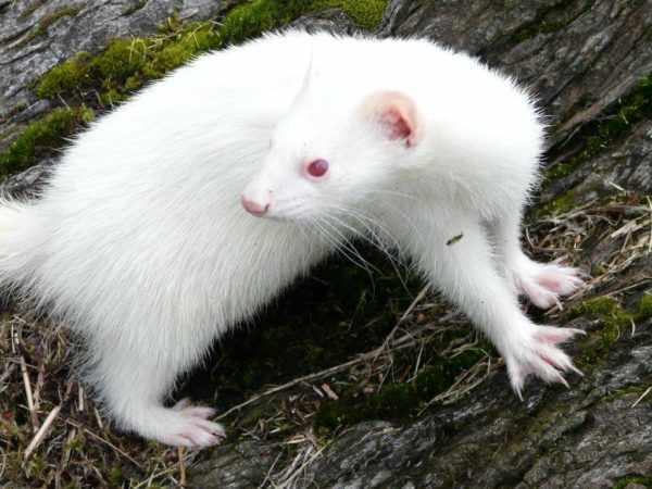 Хорек-альбинос