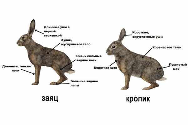 CHem-otlichaetsya-zayats-ot-krolika