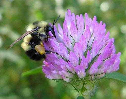 пчела на клевере