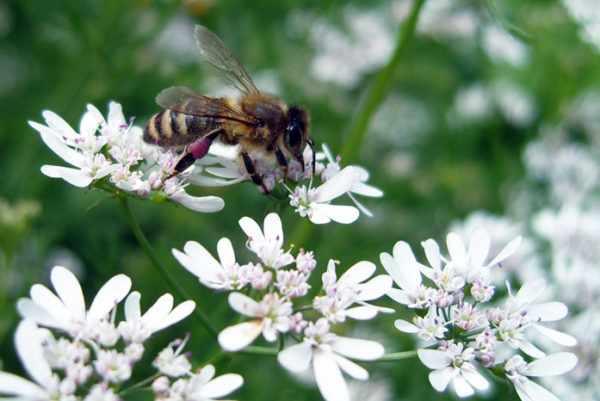 пчела на цветке кориандра