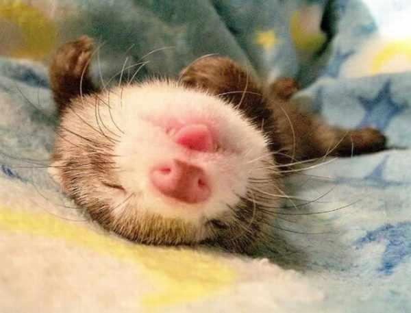 Сколько спит хорек