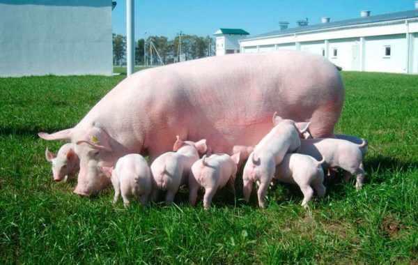 Большая-свинья-и-поросята