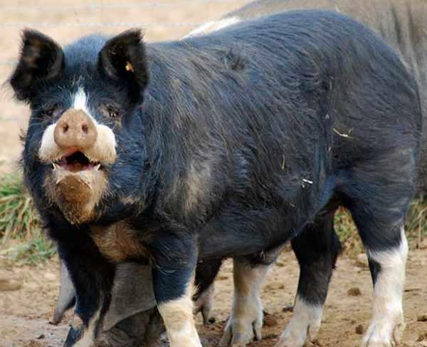 Кемеровская порода свиней