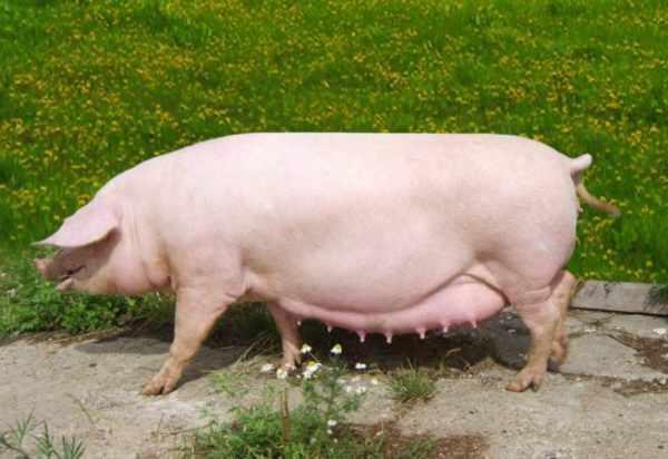 Туклинская порода свиней