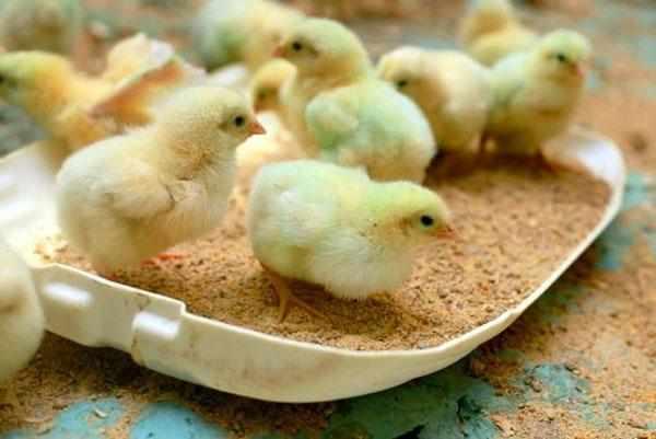 Суточные цыплята умеют самостоятельно подбирать корм