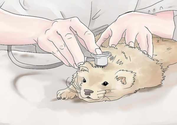 Лечение хорька