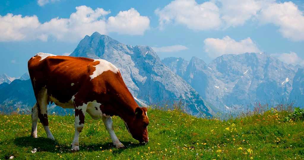 выпас коровы