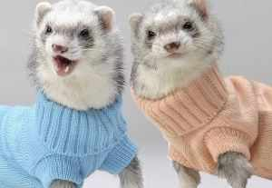 Хорьки в свитерах
