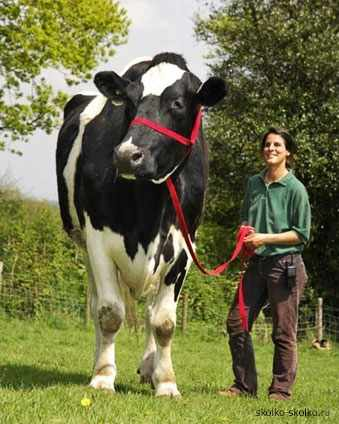 Коровы гиганты