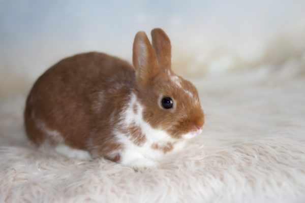Цветной-карликовый-кролик