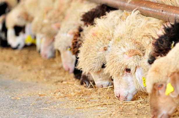 Овцы на окорме