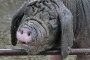 Вьетнамские вислобрюхи свиньие