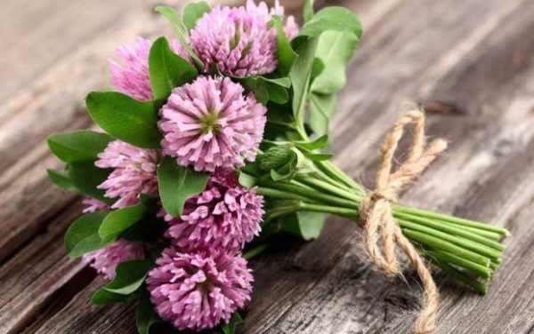 цветы клевера