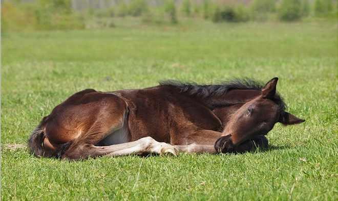 Лошадь лежит несколько часов в день