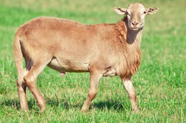 Катумский баран