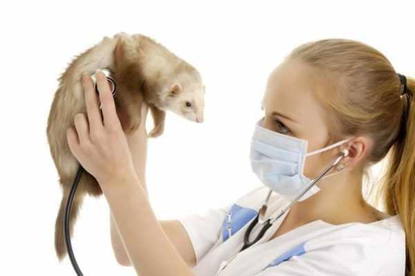 Вакцинация хорьков