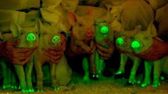 айванские святящиеся свиньи 1