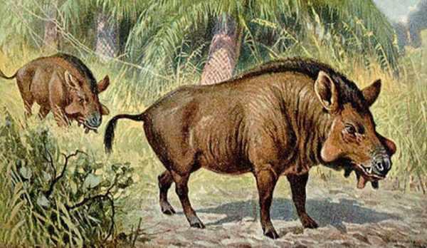 Историческая справка самых больших свиней в мире