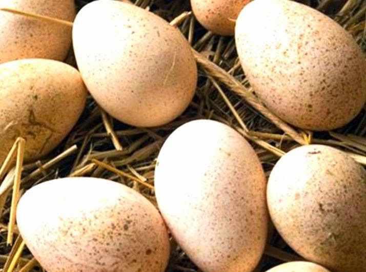 Яйца индюков