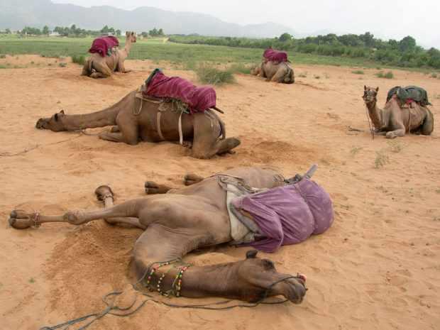 Верблюды спят лежа