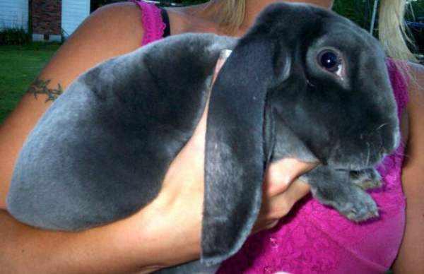 Кролик баран Вельветовый