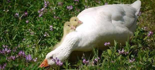 Белая гусыня и гусята - очень осторожная птица