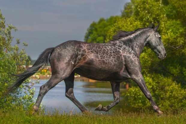 Серебристо-буланая масть лошади