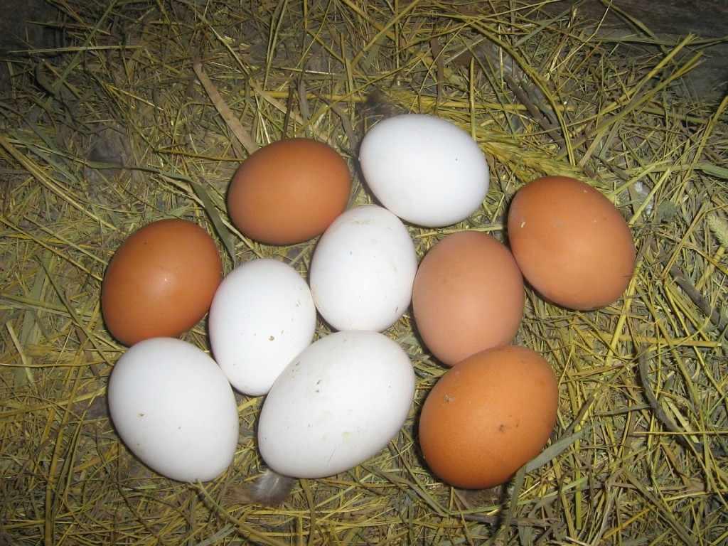 Яйца породы Хайсекс