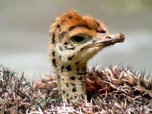 Птенец африканского вида в гнезде