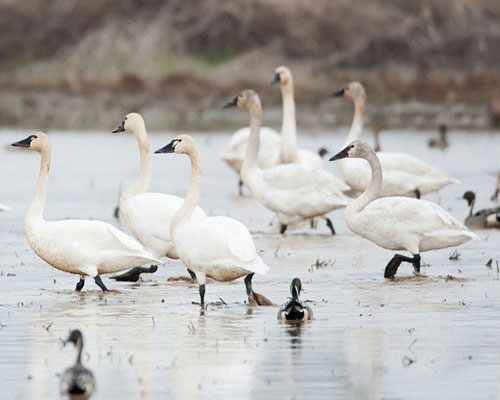 Американские лебеди на болоте