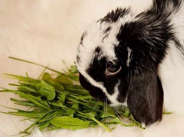 Свежая трава для декоративных кроликов