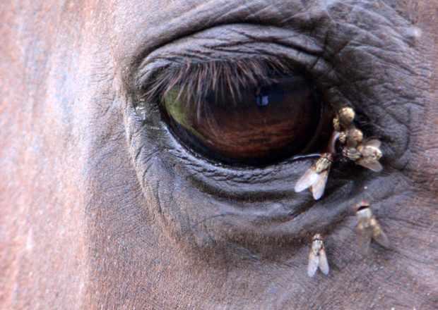 Бычий слепень у глаз животного