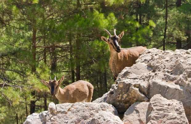 Дикие козы в природе