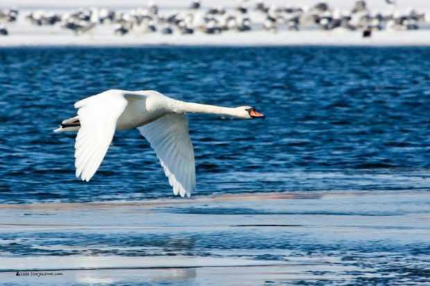 Лебедь шипун летит