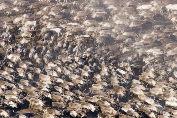 Миграция северных оленей