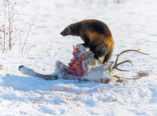 Росомаха поймала оленя