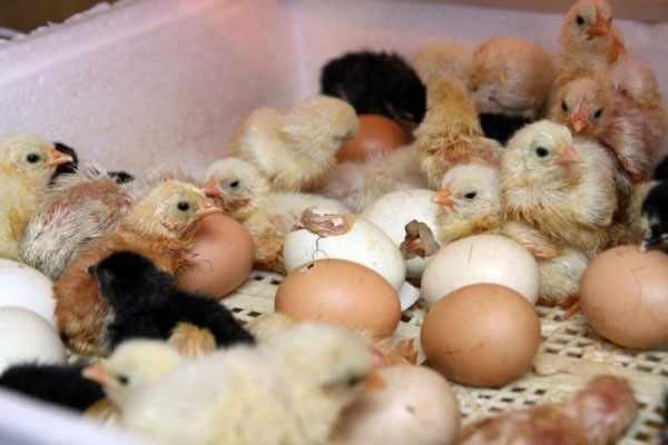 Обсыхание цыплят в инкубаторе