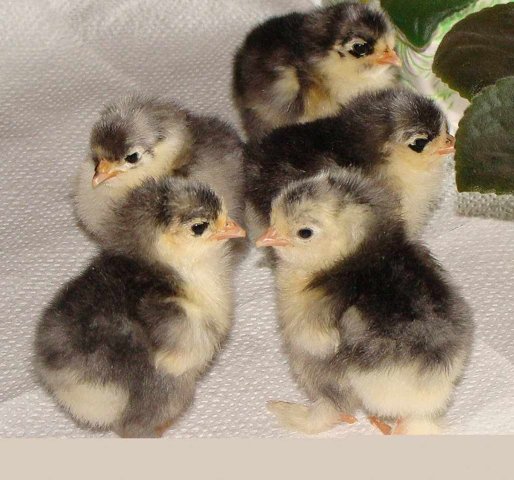 Цыплята Барневельдер