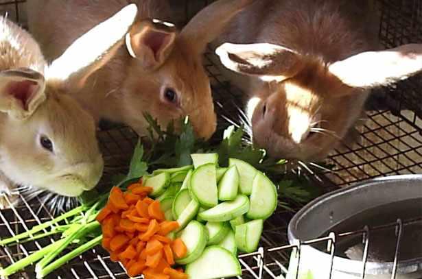 Овощи в рационе кроликов