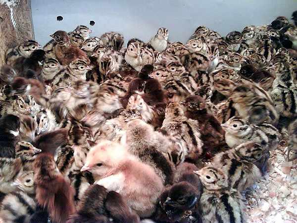 Фазанята охотничьего фазана