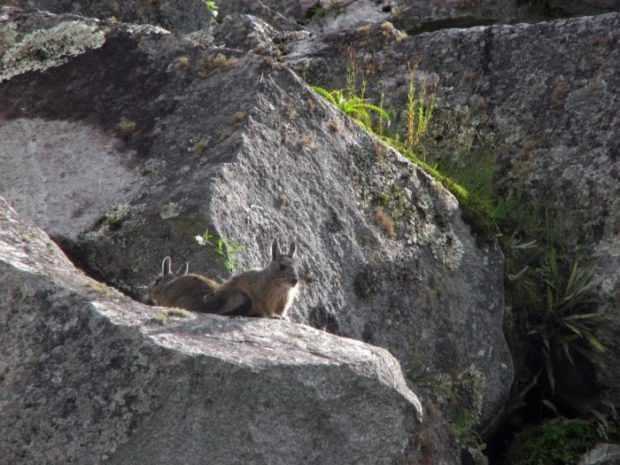 Шиншилла в природе на скалах
