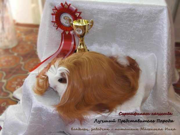 Чемпион породы рыже-белый шелти