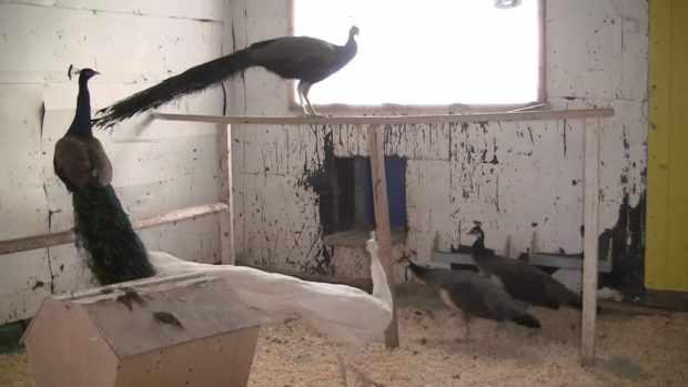 Павлины в отапливаемом птичнике