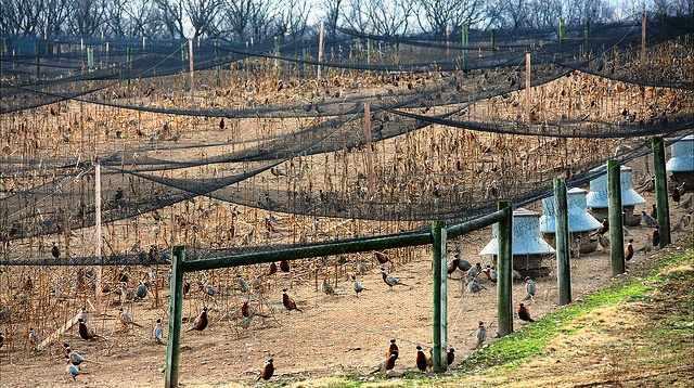 Фазанья ферма