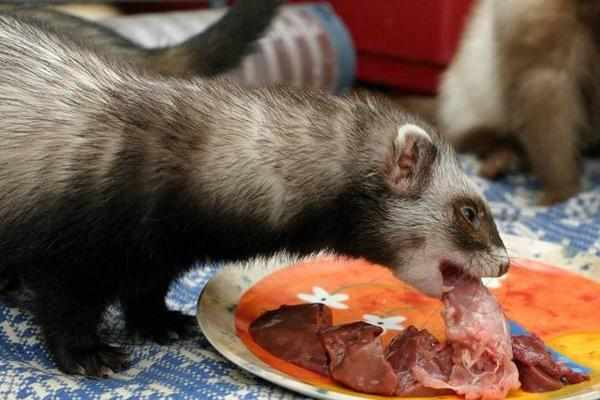 Кормление фретки - мясная пища