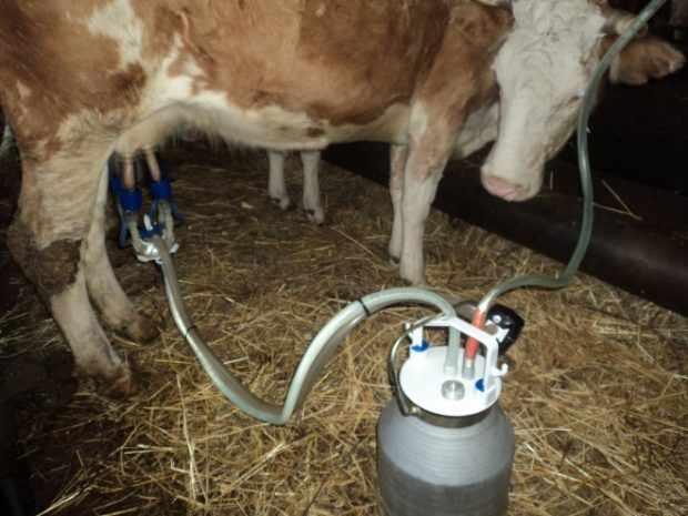 Доение коровы аппаратом