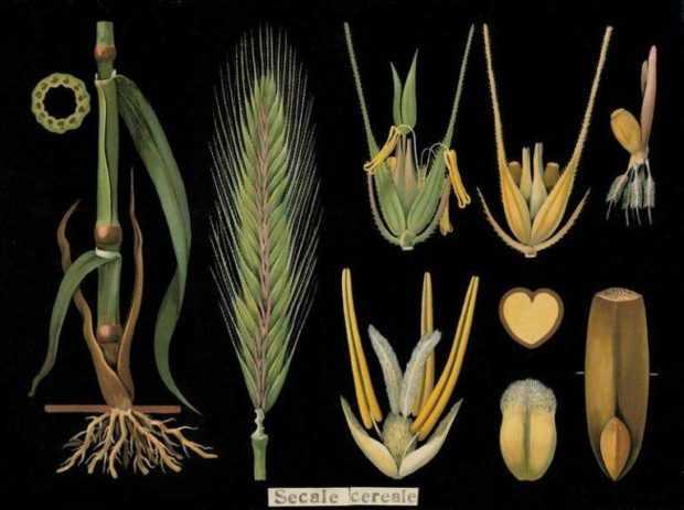 Строение растения ржи