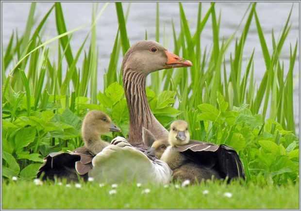 Серая гусыня с гусятами на гнезде