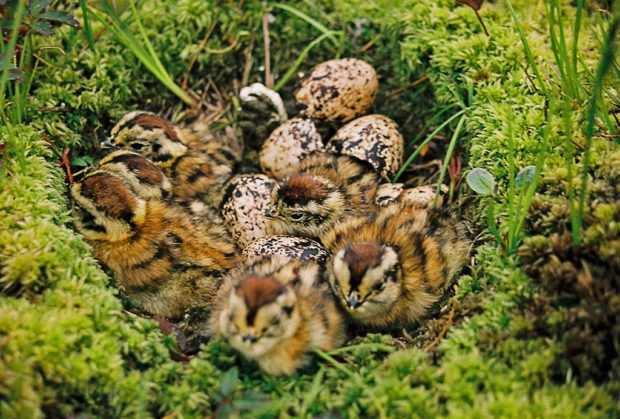 Птенцы тундровой куропатки